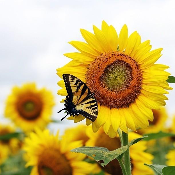 the sunflower fields at the mckee beshers refuge are a sight to behold t20 YlmRgx - Robot-Clean der biologische, universelle Duft Reiniger(Sandelholz) zum Mischen